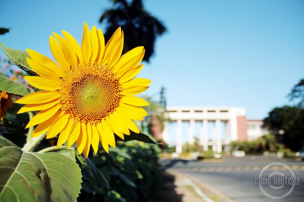 Lonely Travelogue: In Pictures: The Sunflowers of the